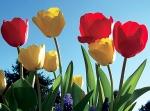 my_tulips